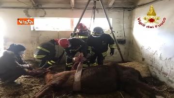 1 - Cavallo in difficoltà a Parma, i Vigili del nucleo SAF intervengono in suo soccorso