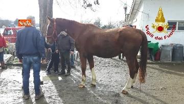 7 - Cavallo in difficoltà a Parma, i Vigili del nucleo SAF intervengono in suo soccorso