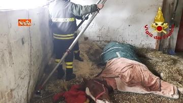 4 - Cavallo in difficoltà a Parma, i Vigili del nucleo SAF intervengono in suo soccorso
