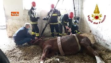 6 - Cavallo in difficoltà a Parma, i Vigili del nucleo SAF intervengono in suo soccorso