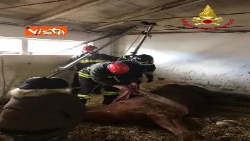10 - Cavallo in difficoltà a Parma, i Vigili del nucleo SAF intervengono in suo soccorso